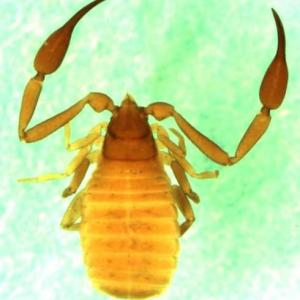 Chelifer cancroides from Europe  (Image: M. Harvey)